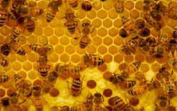 High Fructose Corn Syrup Replaces Honey for Humans and Bees